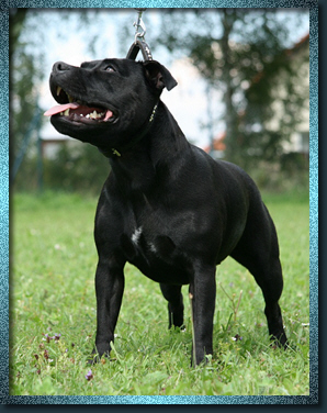 Staffordshire Bull Terrier - Miss